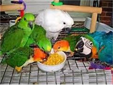 Fertile Parrot eggs and weaned babies aailable